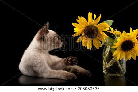 Siamese kitten about to swat at a sunflower, on black background