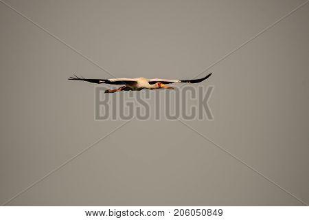 stunning yellow billed stork approaching in flight