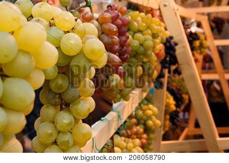 Bunches of grapes at the fair. Green red golden grapes on a wooden display case. The harvest of grapes.
