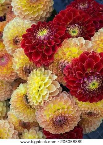 beautiful multicolored bouquets of dahlias grown in the summer garden.