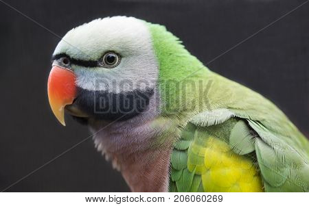 Beautiful Western Moustached Parakeet bird from India and China