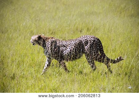 Cheetah in the grass in the natural environment of Africa