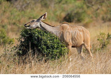 A kudu antelope (Tragelaphus strepsiceros) feeding on a tree, Kruger National Park, South Africa