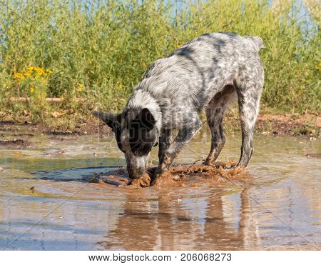 Spotted dog happily digging and splashing in a big muddy puddle