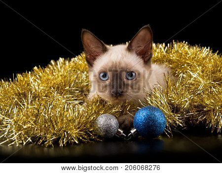 Beautiful Siamese kitten in gold Christmas tinsel, with two glittery baubles, on black background