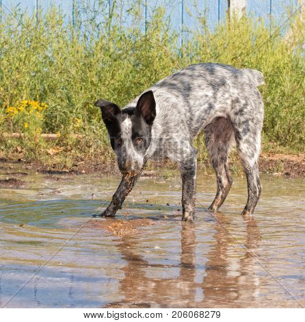 Black and white spotted dog with her nose dripping with muddy water, looking at the viewer