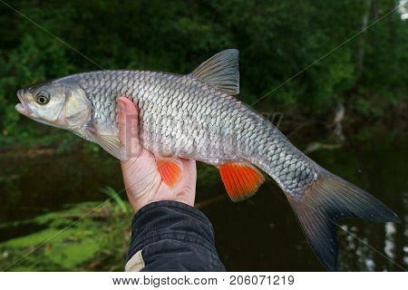 Chub in angler's hand against river shore