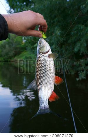 Chub in fisherman's hand, summer catch