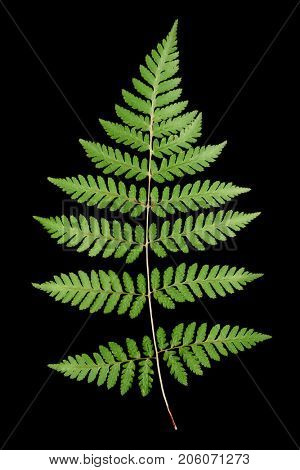 Green fern leaf isolated on black background