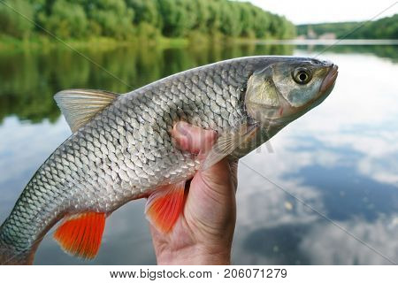 Chub in fisherman's hand against river landscape