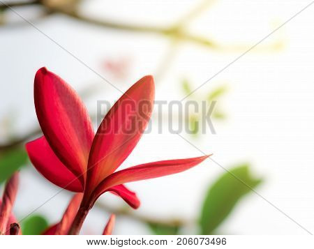 Close-up and back view image of red Frangipani flower in garden with copy space