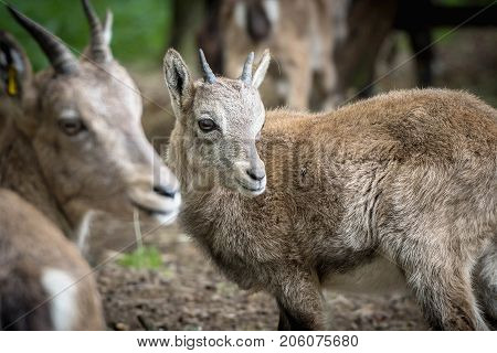Portrait of a Baby capricorn in a wildpark