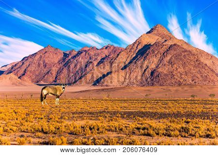 Namibia, South Africa. Sunset in the Namib desert. Oryx grazing at the mountain. The concept of exotic and extreme tourism