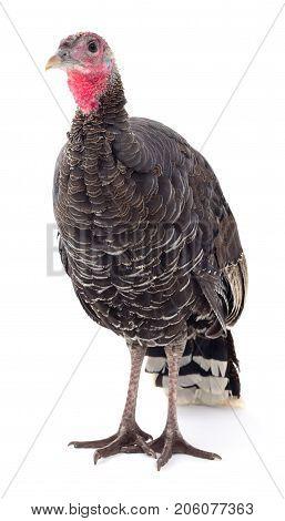 Dark turkey isolated on a white background