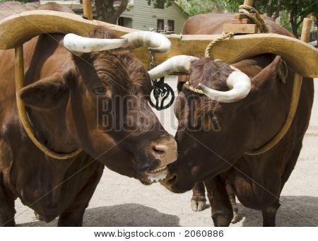 Ox Adn Yoke