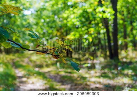 Green Glade In The Forest. Green Forest Walkway. Sunlight Through Trees. T