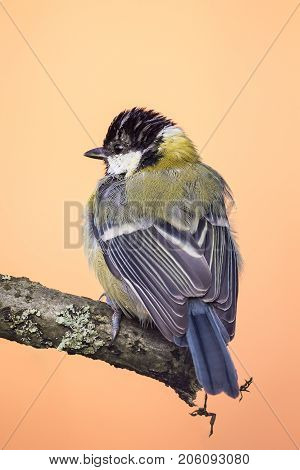 Perched Young Great Tit On Wooden Branch