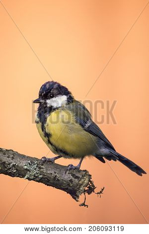 Perched Young Great-tit On Wooden Branch With Grey Lichen