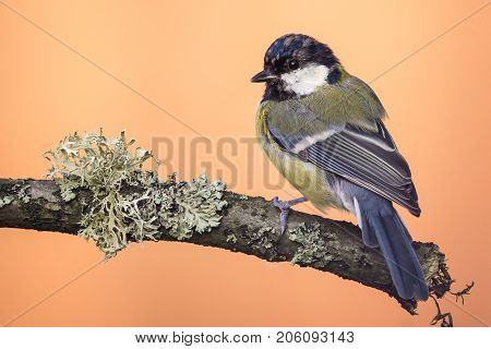 Perched Young Great-tit On Wooden Branch With Lichen