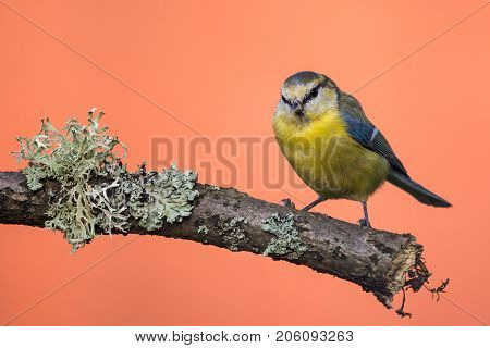 Single Colorful Blue Tit On Branch With Lichen