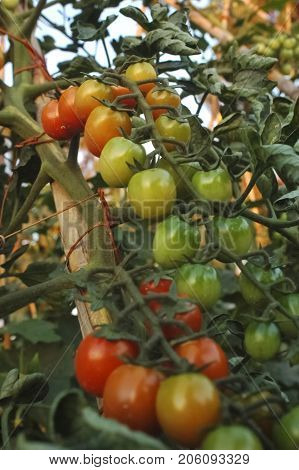 View of tomatoes grown in a kitchen garden