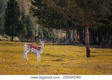 The portrait of spotted fallow deer doe, autumn forest landscape
