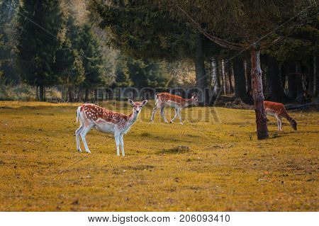Autumn forest landscape with spotted fallow deers