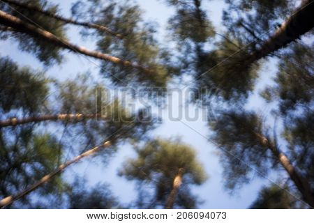A view up to the treetops (pine). Background out of focus.