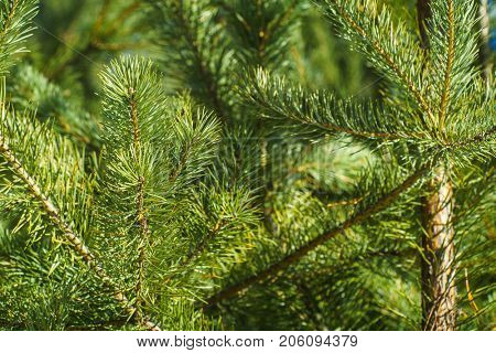 Brightly Green Prickly Branches of a Fur-tree or Pine, Close Up of a Green Pine Tree, Background from Branches of a Natural Fur-tree