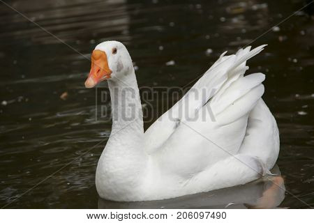 White swan in a pond. Romantic background. Beautiful swan.