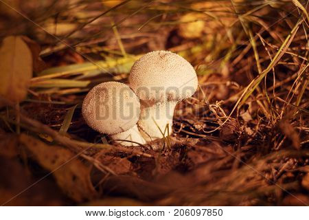 Two white mushrooms with pimples grow in the forest in autumn