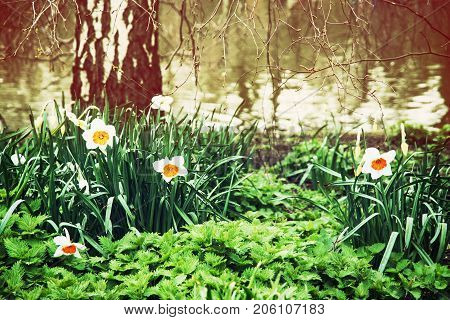 White daffodils nettle and birch on the lake shore. Spring scene in the St. james's park London. Beauty photo filter.
