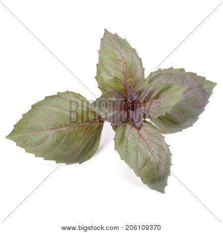 Red basil herb leaves isolated on white background. Dark opal basil leaf.