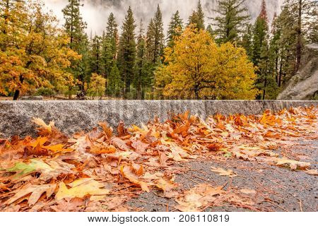 Fallen yellow autumn leaves on the wet highway asphalt. Yosemite National Park Valley at cloudy autumn morning. Low clouds lay in the valley. California, USA.