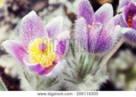 Dewy purple Pulsatilla slavica in spring meadow. Photo filter. Seasonal natural scene.