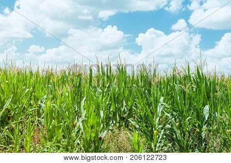 Green Corn field and sky with beautiful clouds. Agriculture business. Concept theme: agribusiness, production of food. Selective focus.