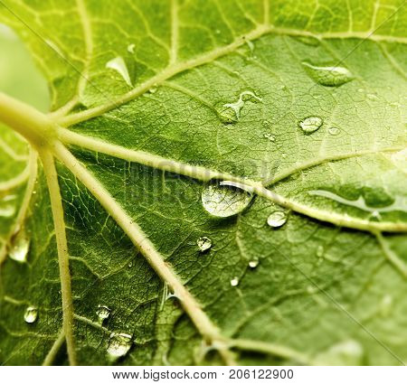 Grape leaf with dew drops. Beautiful drops of rain water on a green leaf. Drops of dew in the morning glow in the sun. Beautiful leaf texture in nature. Natural background.