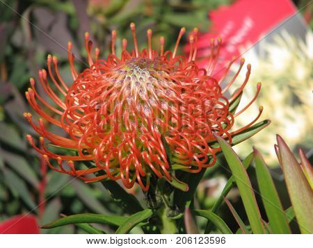 A RED BOTTLE BRUSH PROTEA IN FULL BLOOM