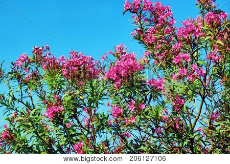 Blooming oleander bush against blue sky on sunny day