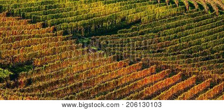 Rows of orange, yellow and green vineyards on the hill in autumn in Piedmont, Northern Italy (panorama).