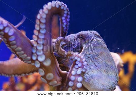 Octopus In A Marine Aquarium