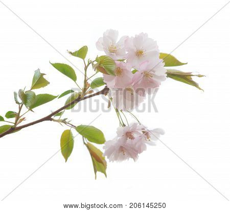 the sakura branch isolated on white background