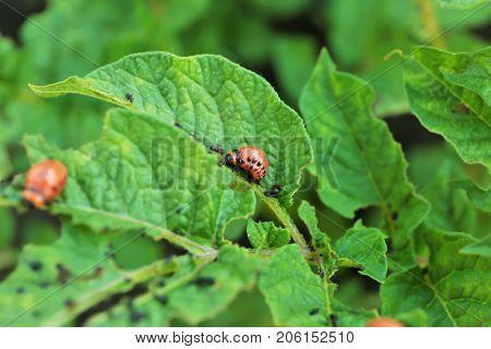 Larvas of Colorado beetle on potato plant