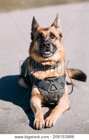 Brown German Sheepdog Alsatian Wolf Dog Wearing In Special Training Clothes And  Sitting On Road In Sunny Day