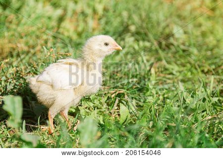 A sad little chick in the grass.