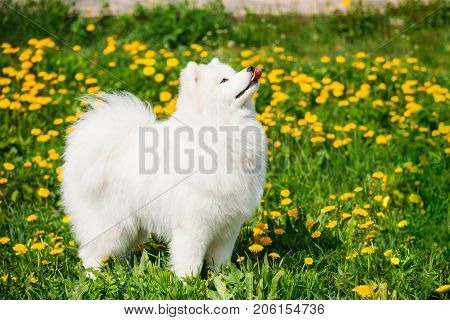 Funny Young Happy Smiling White Samoyed Dog Or Bjelkier, Smiley, Sammy Playing Outdoor In Green Spring Meadow With Yellow Flowers. Playful Pet Outdoors.
