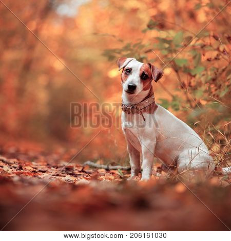 Dog at autumn. Jack russel terrier outdoors. Pet.