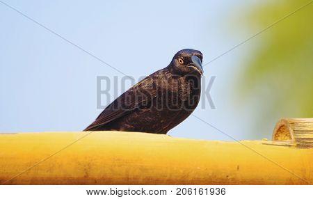 Black Bird With Yellow Eyes Called Irauna-grande Or Giant Cowbird