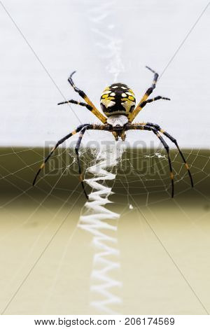 Vertical macro photo of a yellow and black zipper spider sitting on its zigzag zipper web