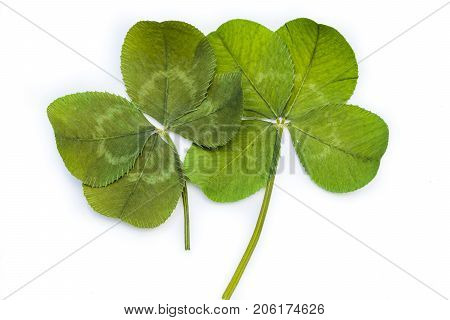 Horizontal closeup photo of two green 4-leaf clovers touching each other on a bright white background